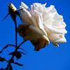 """""""Flight of the Bumblebee""""<br /> Balboa Park Rose Garden<br /> San Diego, California"""