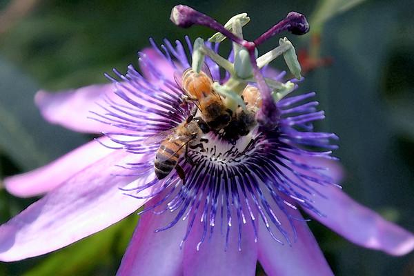 """Purple Passion""<br /> Sebastapol, California"