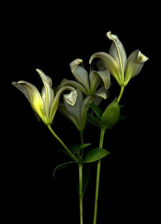 Lillies Study 2