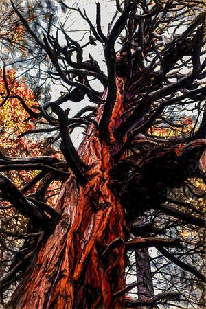 Redwoods (Yosemite)