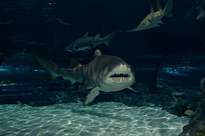 Underwater shots of the shark tank for Ripley's Aquarium.