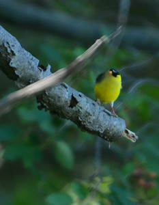 American Gold Finch