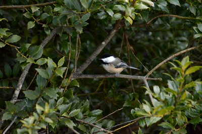 Black-Cap Chickadee