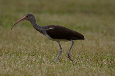 White Ibis (Juvenal)