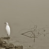 CRW_5938C white bird serene10x15
