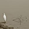 CRW_5938C white bird serene10x15