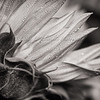 Sunflowers in Black and White (Day 70/366)