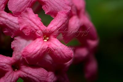 Panama Rose (Day 2/366)