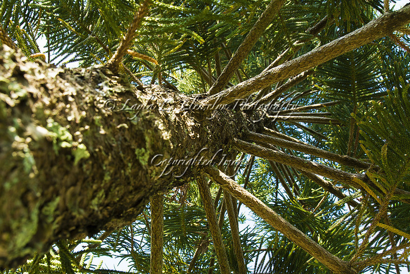 Day 72 Pine Tree Branches - What if your family tree resembled this?