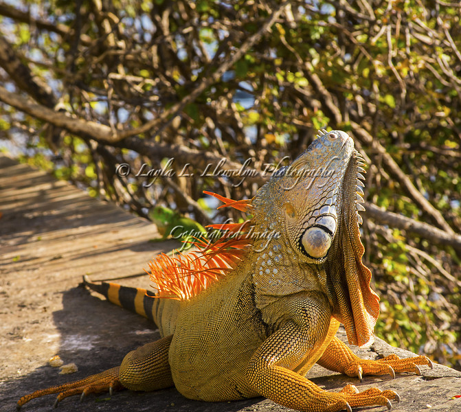 Day 25 (photo 1) Sunning Iguana. Or is it a sun salutation?