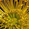 Day 245 Protea Sunshine