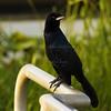Day 305 Bye-Bye Black Bird