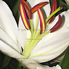 Day 101 Easter Lily--Happy Easter