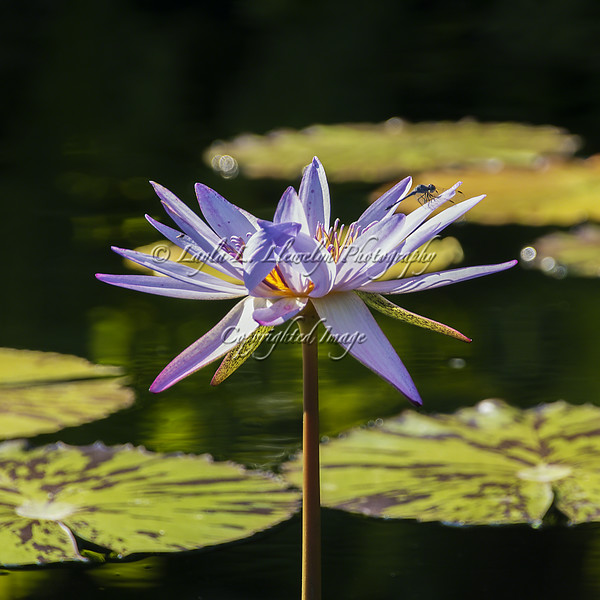 Day 176 Not the only one taken by this water lily