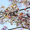 Day 83 Apple Blossom Cassia