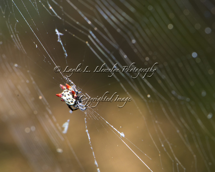 Day 20 Spiny Orbweaver Spider