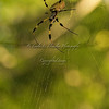 Day 169 Golden Silk Orbweaver