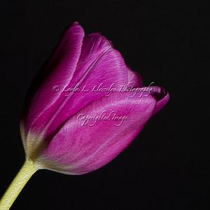 Day 48 (Photo 1) Tulip Photo Painting