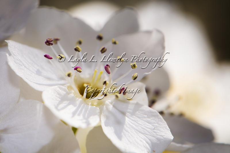 Day 65 Cherry Blossom