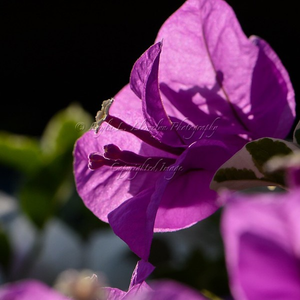 Day 350 Bougainvillea Catching Some Morning Sun (Photo 1)
