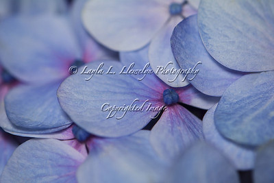 Day 160 In the Macro World: Hydrangea Color Change
