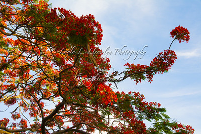 Day 163 Flaming Royal (Poinciana)