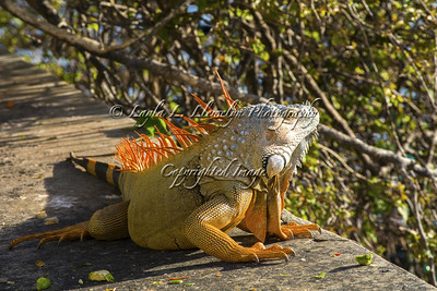 Day 25 (photo 2) Sunning Iguana.