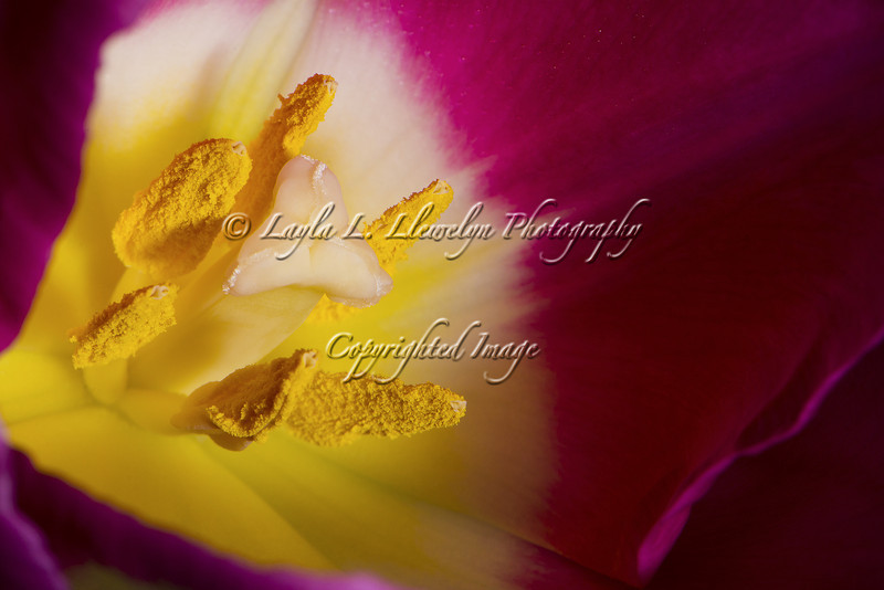 Day 48 (Photo 2) Pink Tulip