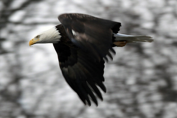 Bald Eagles January 2011