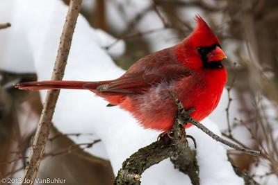 1/365 -  Cardinal at Kensington