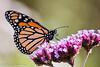 270/365 - Monarch Butterfly