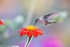 245/365 - Hummingbird