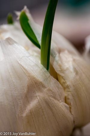 34/365 - Garlic