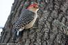 333/365 - Red-bellied Woodpecker