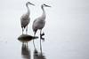 332/365 - Sandhill Cranes