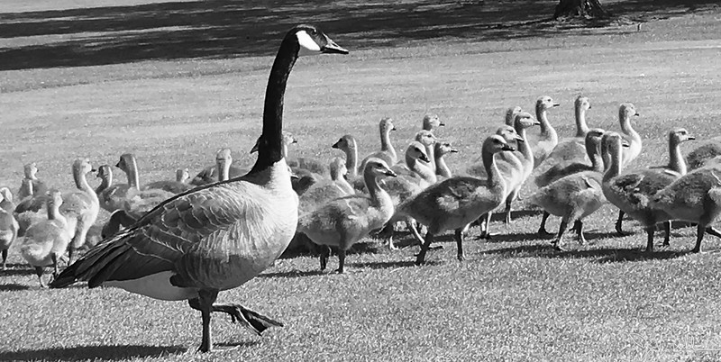 143/365 - Geese