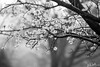 112/365 - Bradford Pear Tree