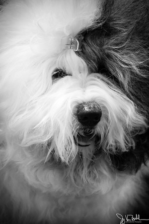 23/365 - Sheepdog