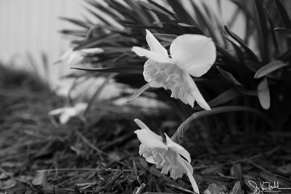 95/365 - Drooping Daffodils