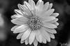 141/365 - Flowers