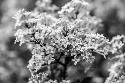 144/365 - Lilac Bush