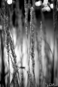 254/365 - Prairie Grass
