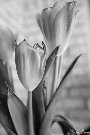 96/365 - Tulips