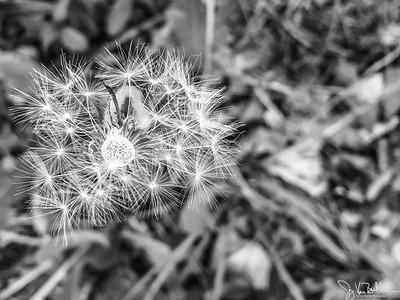 147/365 - Dandelion