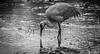 331/365 - Sandhill Crane