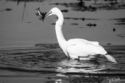 107/365 - Egret