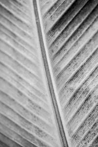 145/365 - Canna Leaf