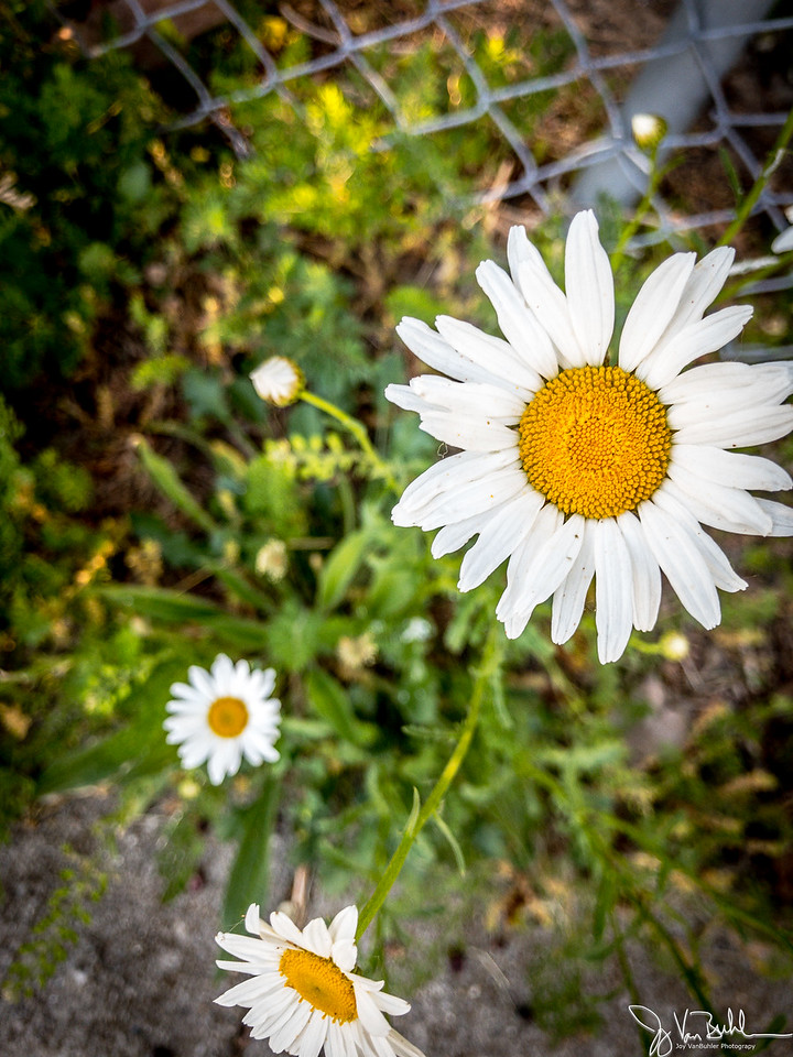 165/365 - Daisy