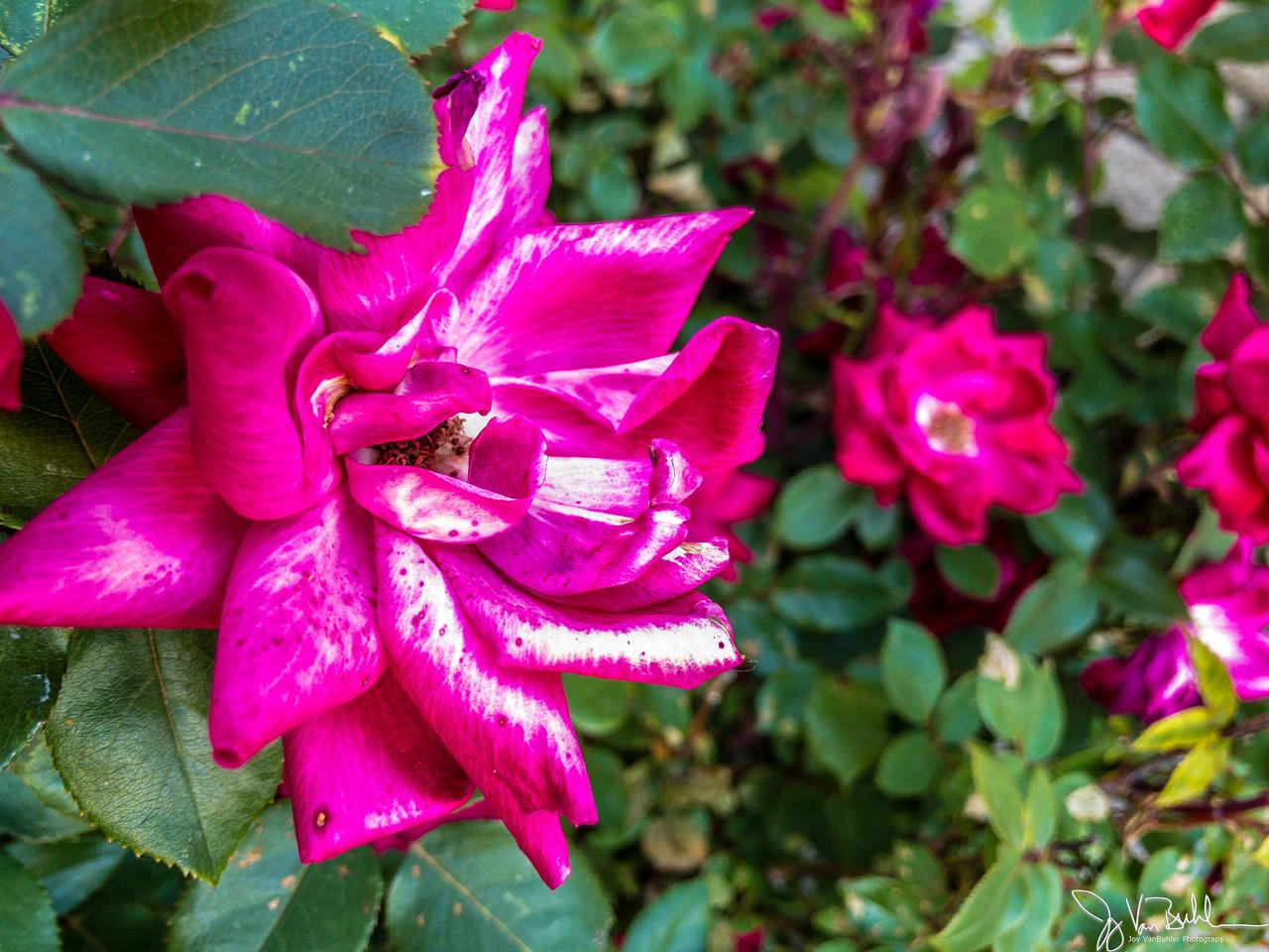 156/365 - Roses