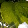 224/365 - Water on Leaves